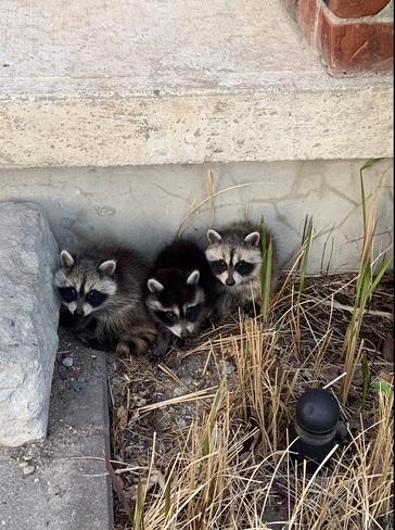 Baby raccoons on my porch London, ON