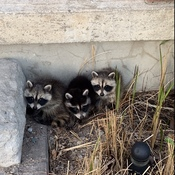 Baby raccoons on my porch
