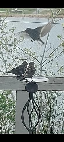 Pine Siskins stopping in fir a drink of water Timmins, ON
