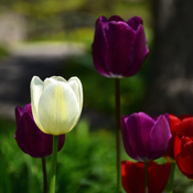 Des tulipes et encore de belles tulipes