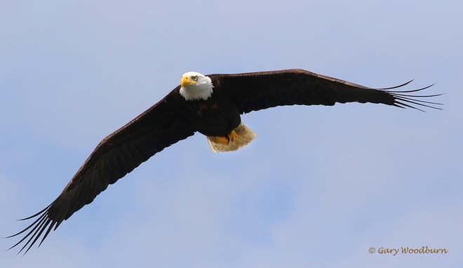 2021-May-15 - Bald Eagle looking for food at Esquimalt Lagoon Esquimalt Lagoon, Colwood, BC