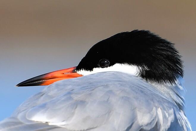 Common Tern. Petawawa, ON