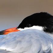 Common Tern.