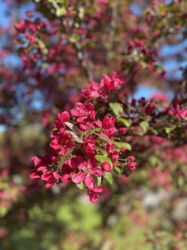 Pometier en fleur dans Lanaudière Saint-Ambroise-de-Kildare, Québec, CA