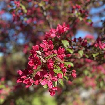 Pometier en fleur dans Lanaudière