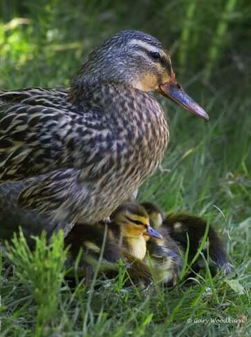 2021-May-17 - Mallard Mom protecting her 10 ducklings at Royal Roads University Royal Roads University, Sooke Road, Victoria, BC