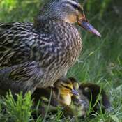 2021-May-17 - Mallard Mom protecting her 10 ducklings at Royal Roads University