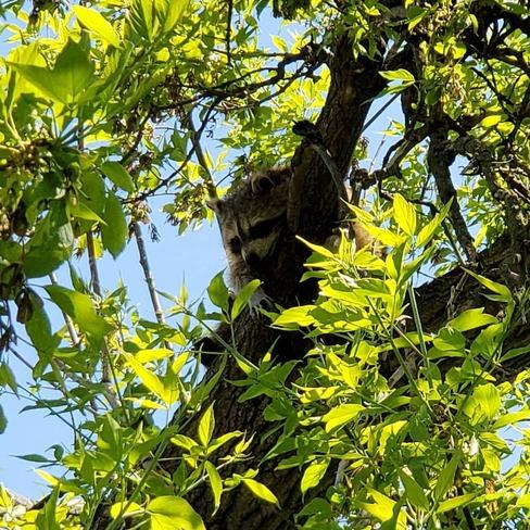Sleeping Raccoon.. Kennedy Park, ON