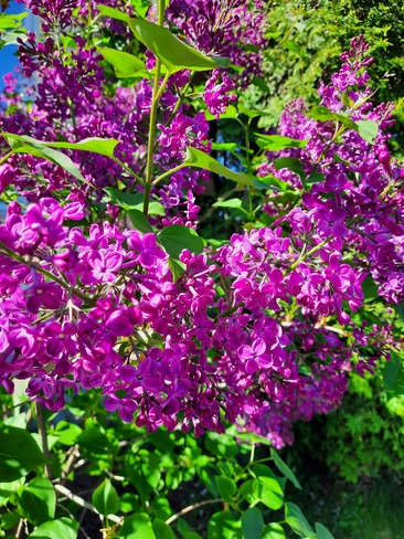 lilac tree at its best Chambly, QC