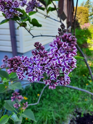 another lilac tree Chambly, QC