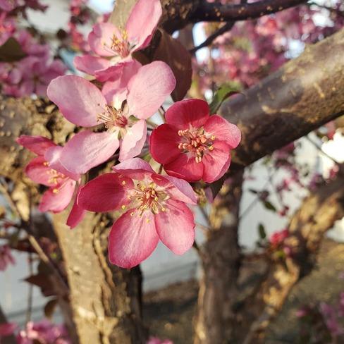 cherry blossoms Saskatoon, SK