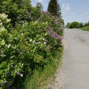 A Row of Lilacs