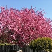 Crabapple blossoms in May