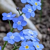 Omphalodes verma