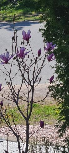Magnolia Tree Sudbury, ON