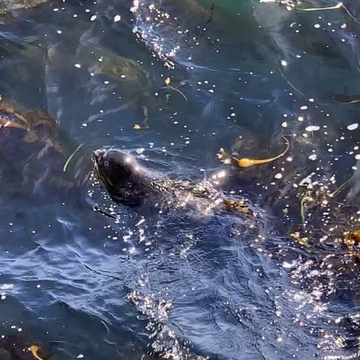 Seal, hunting in bull kelp