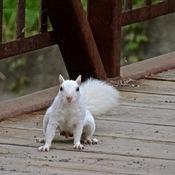 Un écureuil blanc