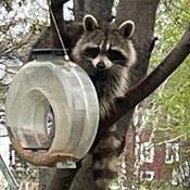 Un gros bandit s'est invité à souper