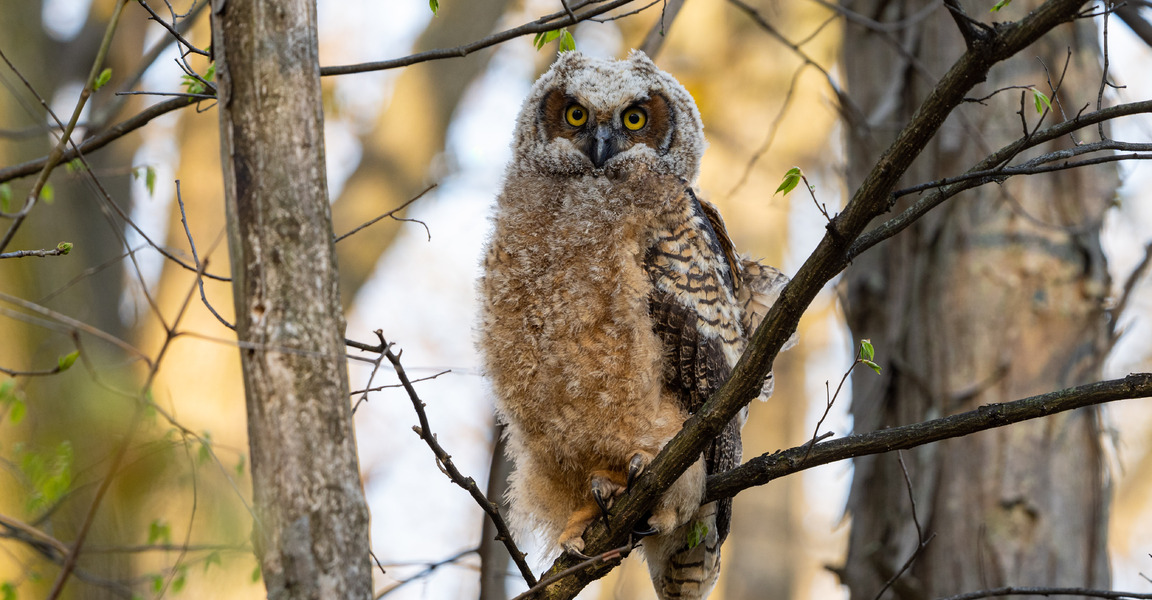 Great Horned Owl Sibling