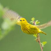 Paruline jaune en vol