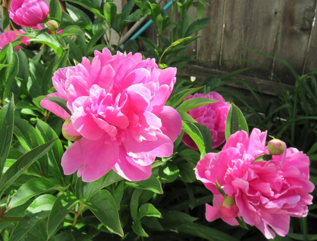 It's about time to say goodbye to peonies Vancouver, BC