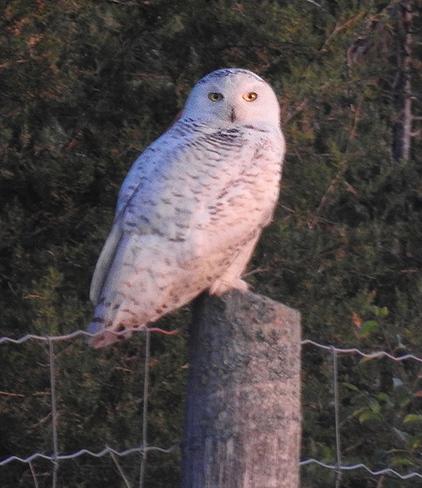 Snowy Owl in June Ottawa, ON
