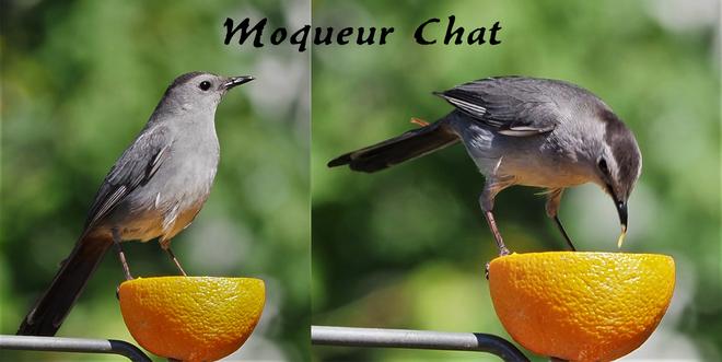 Moqueur Chat dans ma cour Wow Saint-Hubert, Longueuil, QC