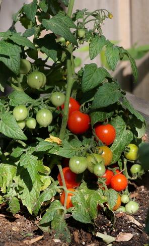 Tomato Promises Edmonton, AB