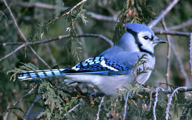 """""""TORONTO BLUE JAY"""" Scarborough Bluffs, Bluffers Park, Scarborough, ON"""