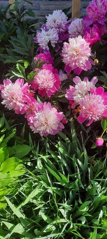 fleur Montréal, QC