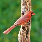Cardinal Wow