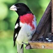 Cardinal à poitrine rose Wow