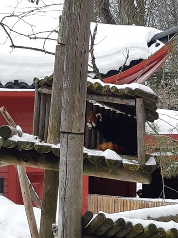 panda roux Montréal, QC