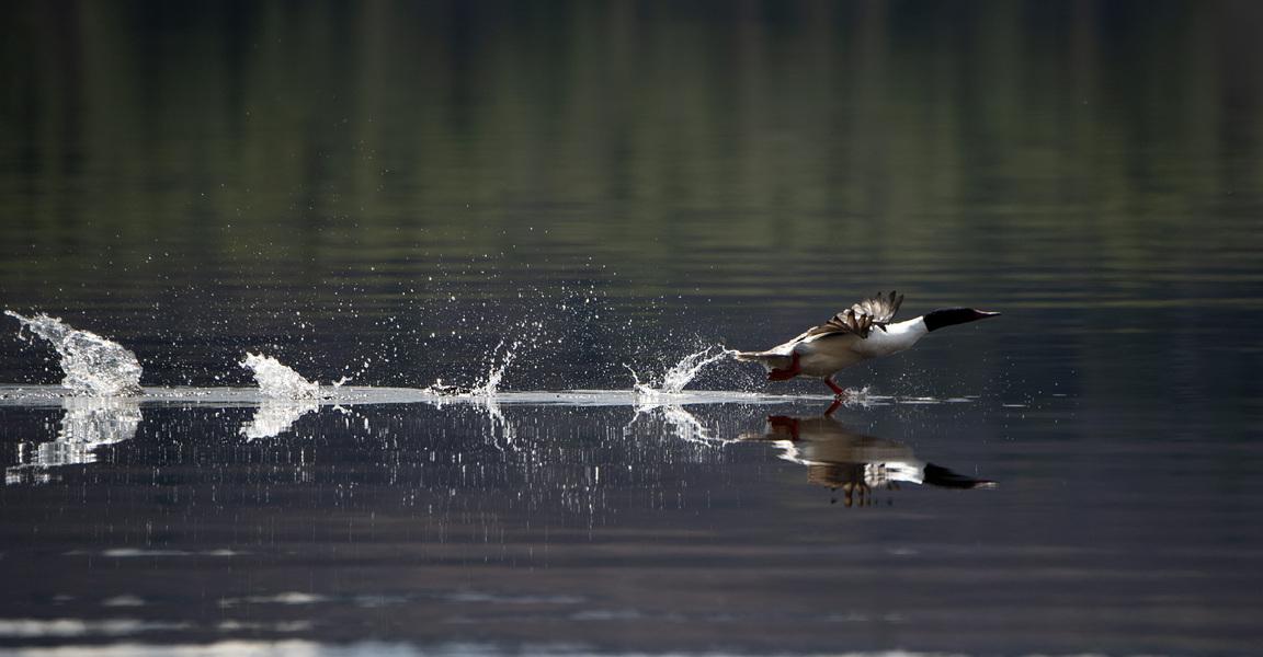Walking on Water - Common Merganser