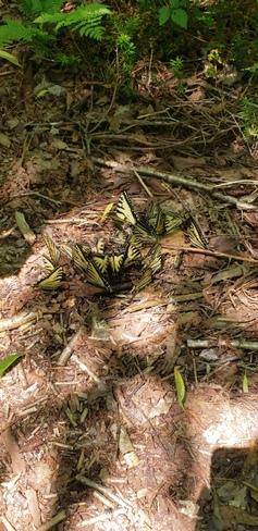 Papillon tigré de l'Est. Parc national de la Jacques-Cartier, Chemin du Parc-National, Stoneham-et-Tewkesbury, QC