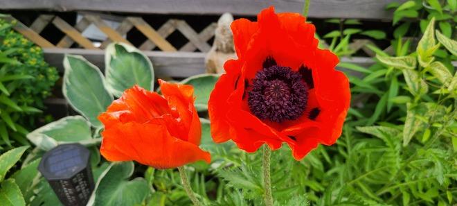 poppy Sudbury, ON
