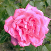 Rose 'Miss All-American Beauty'