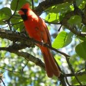 Cardinal et les bébés