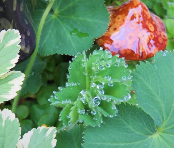 raindrop or dew Vancouver, BC