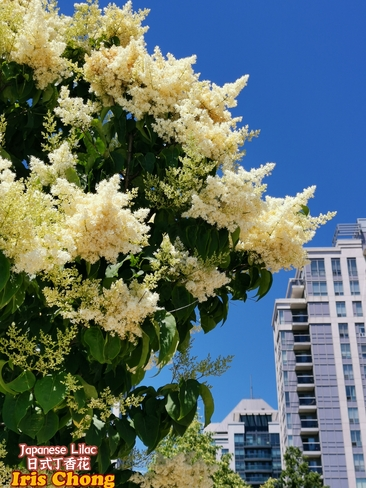June 12 2021 24C Beautiful day! Japanese lilac embraces the sun in Thornhill Thornhill, ON