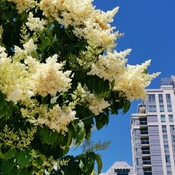 June 12 2021 24C Beautiful day! Japanese lilac embraces the sun in Thornhill