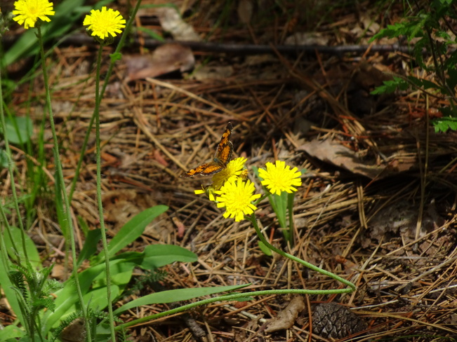 Butterflies Sudbury, ON