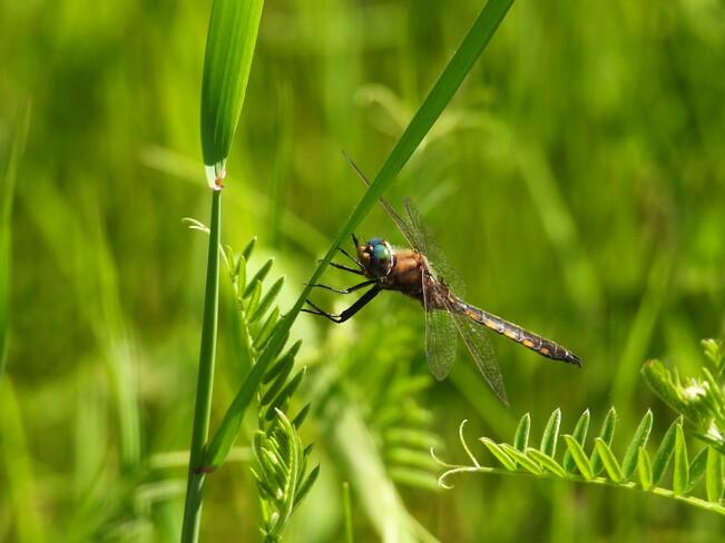 Une belle libellule Matane, QC