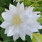 Double Clematis