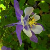 2021-06-12 - Columbine flower in Colwood BC