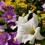 June 12 2021 25C Beautiful day! Pretty Petunias in Thornhill