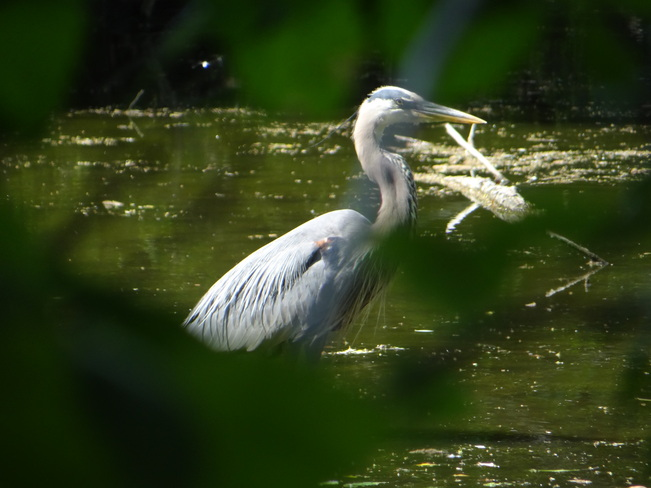 Great Blue Heron @ Grenadier Pond, High Park High Park, Bloor Street West, Toronto, ON