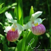 double pink lady slippers