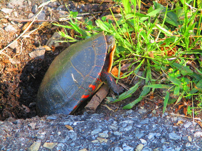 Turtle Laying Eggs Beside Trail Upper Canada Migratory Bird Sanctuary Waterfront Trail, Ingleside, ON K0C 1M0, Canada