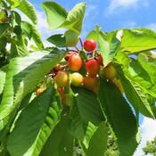 Cherries Vancouver